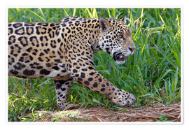 Premium poster  Young Jaguar at a riverside - G & M Therin-Weise