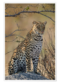 Premium poster  Leopard perched on its rock - James Hager